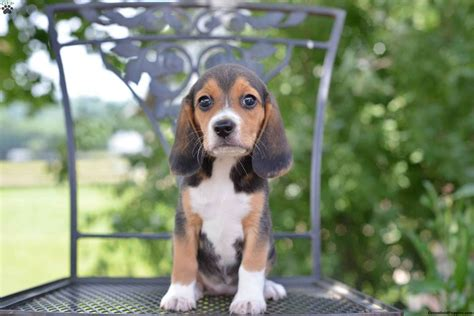 buy beagle puppy beagle puppies