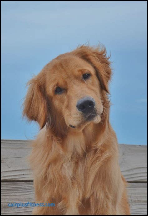 golden retrievers are the best best food for golden retrievers best of 2309 best golden retriever images on
