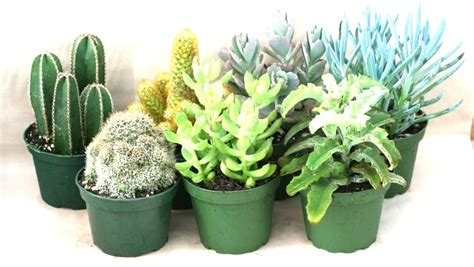 top 28 cactus vs succulent matelic image names and pictures of cactus difference between