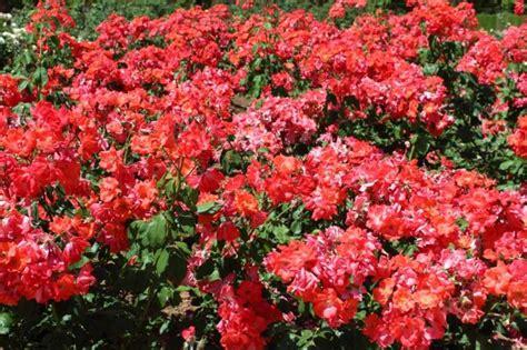 imágenes de rosas rojas naturales rosas rojas fotos de paisajes naturales y urbanos