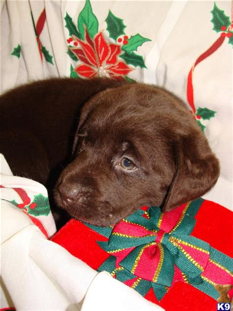 silver lab puppies for sale in md yellow labrador retriever puppies for sale in maryland
