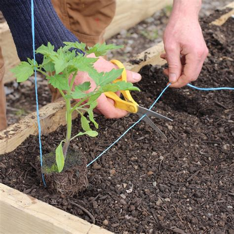 Using String - how to plant tomato seedlings in ireland