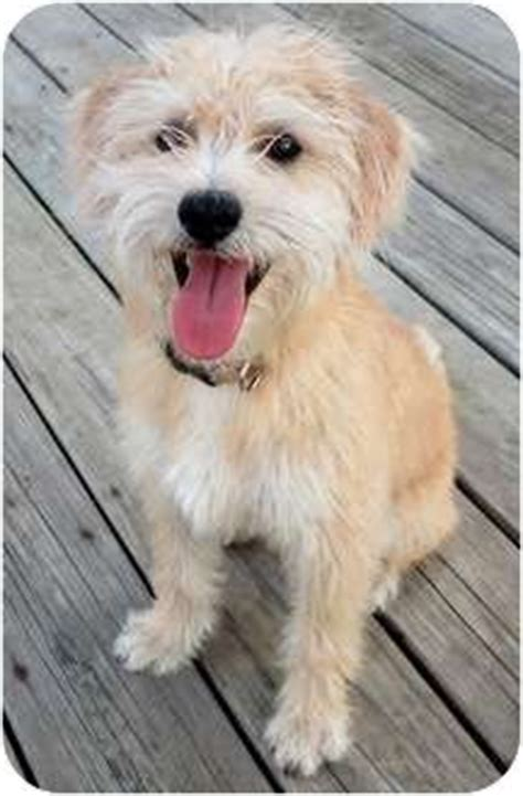 cairn terrier mix puppies best 25 terrier mix ideas on