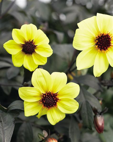 Dahlia Syari Black mystic illusion dahlia hybrid proven winners
