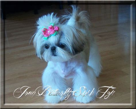 dog haircuts near me 107 best images about adorable shih tzu s on pinterest