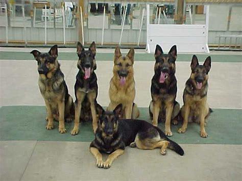 king german shepherd puppies king s pride s german shepherd dogs gafke s s pet