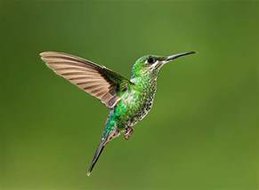 hummingbird in flight photograph by hali sowle