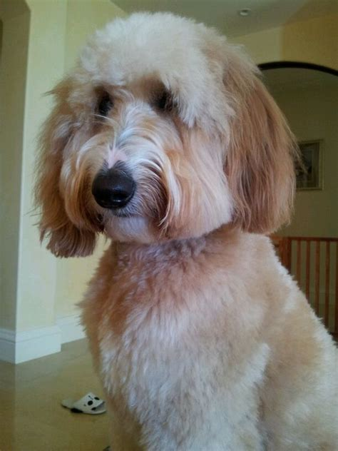 face hairstyle goldendoodle pinterest the world s catalog of ideas