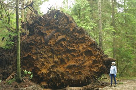 root balled trees panoramio photo of root of a of fallen trees