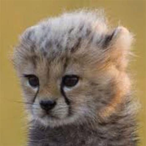 baby cheetah cub to become part of busch gardens cheetah toto from big cat diary cutest thing ever too cute