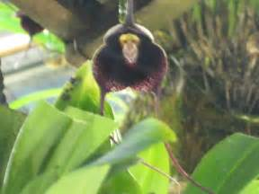 monkey orchid monkey like orchids