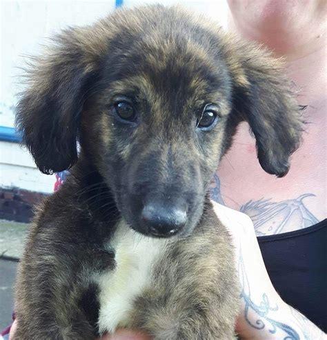 lurcher puppies saluki greyhound lurcher puppies seaham county durham pets4homes