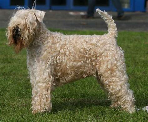 soft coat wheaten terrier puppies soft coated wheaten terriers dogs breeds picture