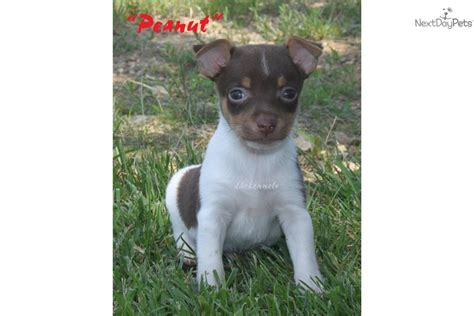 rat terrier puppies for sale rat terrier breed rat terrier puppies for sale puppies breeds picture