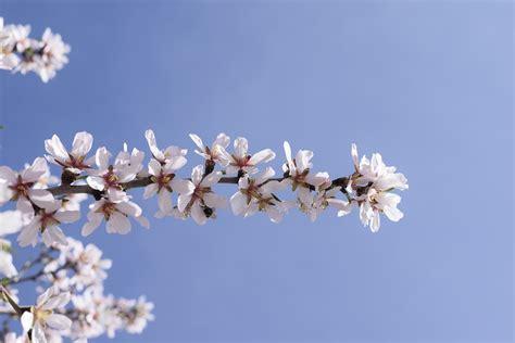 mandorlo da fiore foto gratis mandorlo in fiore fiori mandorla immagine