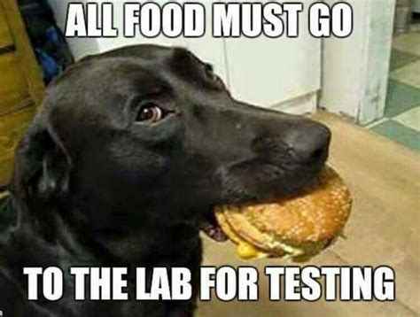 Labrador Meme - all food must go to the lab for testing dog quotations