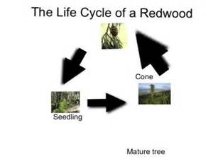 life cycle of a redwood youtube