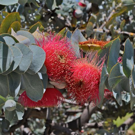 western australia australian native plants nursery western australian flora