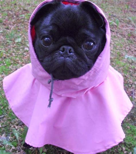 pug raincoat black pug in pink raincoat pugs