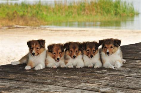 shetland sheepdog puppies shetland sheepdog sheltie info puppies pictures temperament