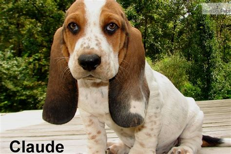 basset hound puppies for sale in missouri basset hound puppy for sale near springfield missouri fc901c34 8451