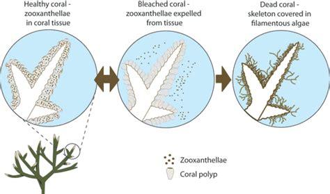 coral bleaching diagram bvi research