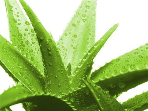 pianta aloe vera in casa aloe vera coltivazione aloe aloe vera come coltivarla