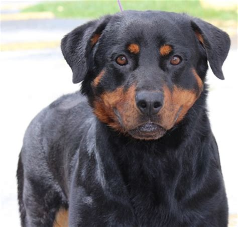 rottweiler rescue new jersey gulfstream guardian rottweiler rescue
