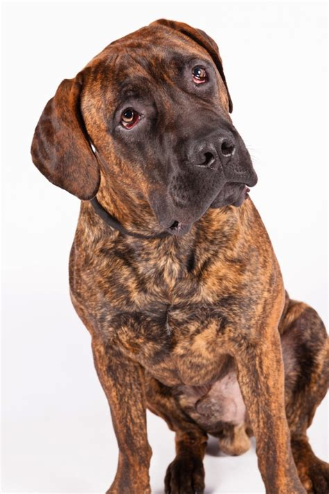 new breeds american kennel club adds 4 new breeds of dogs ctv news
