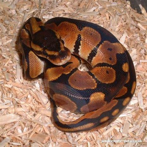 python heat l at royal python baby royal python or python