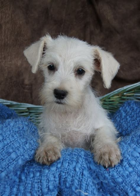 white schnauzer puppy 30 beautiful white schnauzer pictures and images