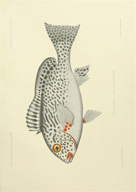 blue koi tattoo norman ok 61 best fish drawings images on pinterest fish fish