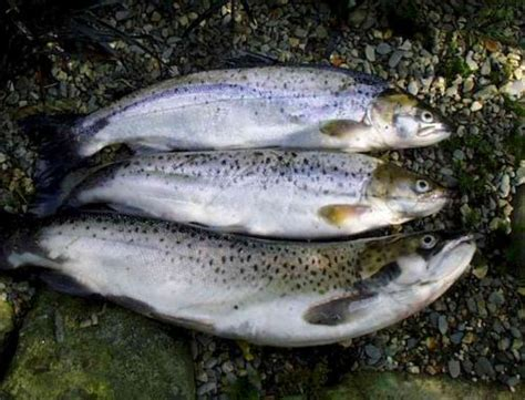 what is the difference beween salmon and sea trout difference between sea trout and salmon