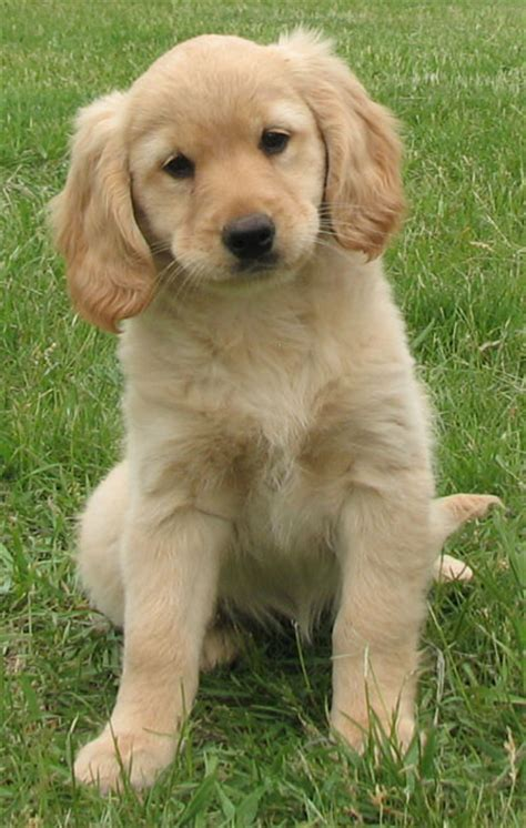golden cocker retriever goldens