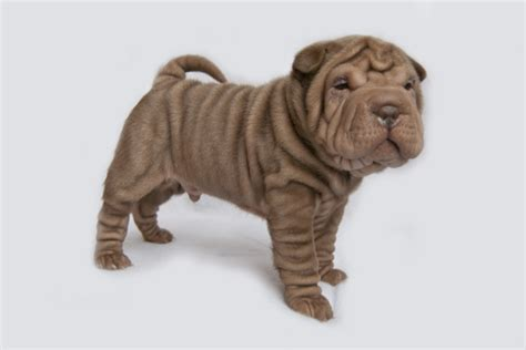 miniature shar pei puppies akc miniature shar pei puppies for sale in rexburg idaho classifieds ksl