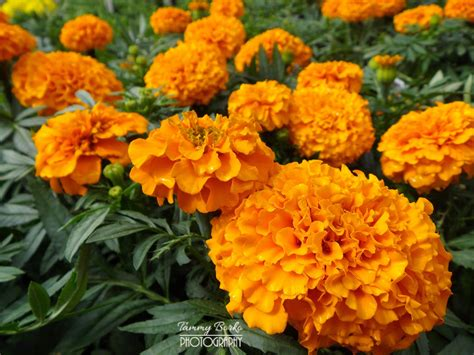 new year marigold flower moonsong orange marigold flowers tammy borko flickr