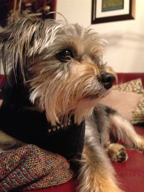 yorkie mixed with schnauzer yorkie schnauzer mix looks so like my maggie schnorkies are the best darlin