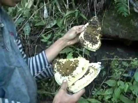 Catok Bonsai By Tawon Alas Bonsai cara menangkap lebah madu di upm kebun bandar funnycat tv