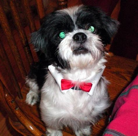 green eyed shih tzu 28 best black and white shih tzu pictures