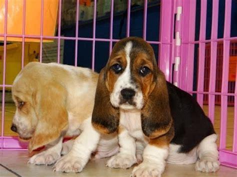 basset hound puppies dogs  sale  atlanta georgia ga savannah sandy springs roswell