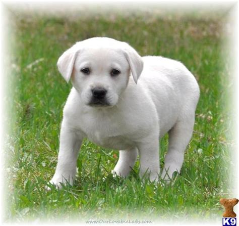 lab puppies for sale in mn golden labrador puppies for sale in mn