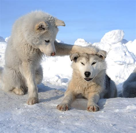 1000  images about Wolves on Pinterest   White wolves, Arctic wolf and Wolf spirit