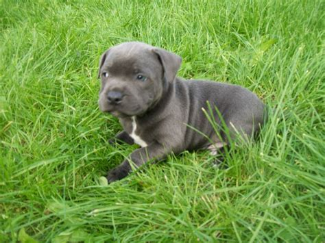 blue staffy puppy pin blue staffordshire bull terrier puppies cumbria animals lake on