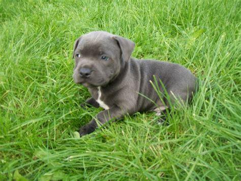 staffie puppies blue staffordshire bull terrier puppies durham county durham pets4homes