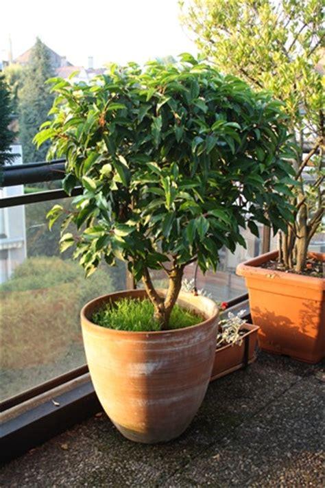 Arbuste En Pot Pour Terrasse 7984 by Plantes Et Arbustes De Fabrice 224 Vendre La Cuisine De