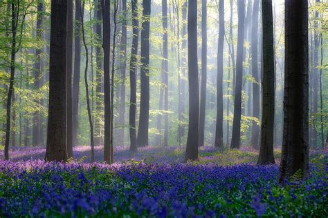 bluebell forest there s a mystical forest in belgium all carpeted with