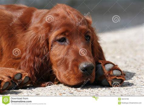 irish setter dog time cute dog puppy stock photo image 58413730