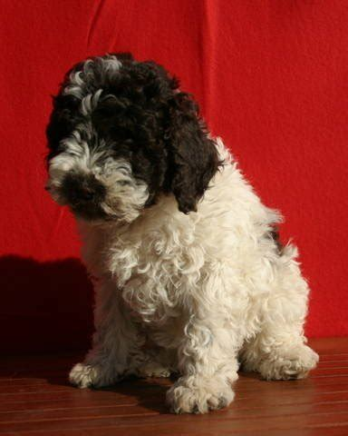 lagotto romagnolo puppies for sale lagotto romagnolo puppies for sale adoption from budapest adpost classifieds