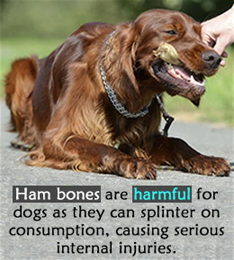 can dogs eat ham bones is it safe to give ham bones to your