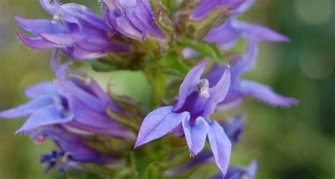 produce fiori in spighe piante da balcone www bonfiglidomenico it